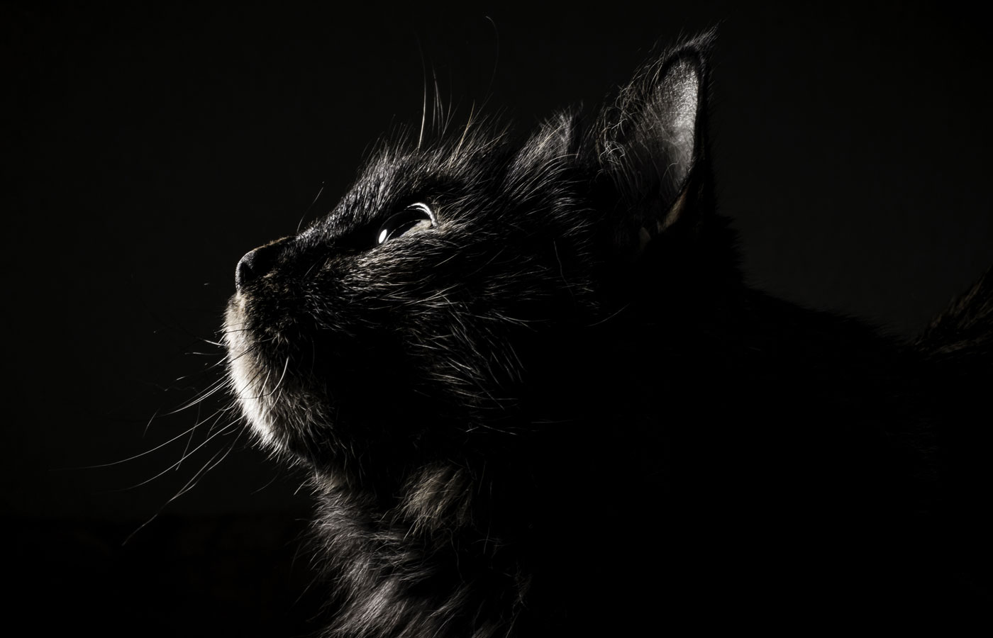 Black cat, black background