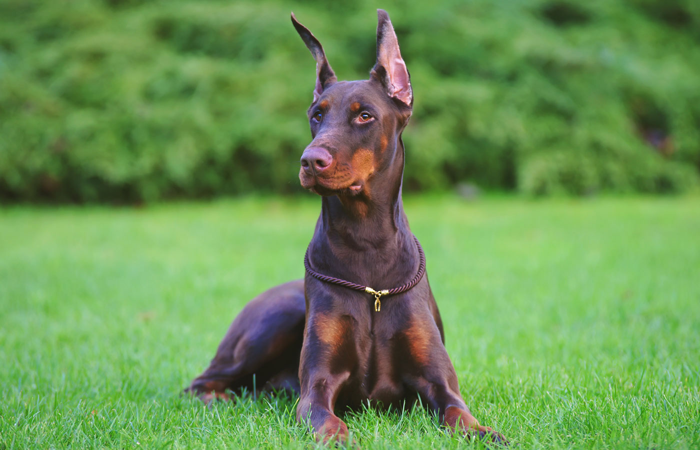 Obedient brown Doberman dog with cropped ears lying outdoors on a cut green grass in a city park