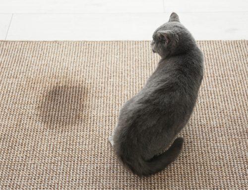 FLUTD 101: Understanding Feline Lower Urinary Tract Disease