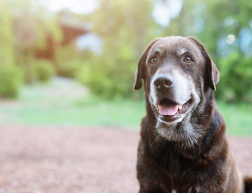 Golden Oldies—Improving Your Senior Dog's Daily Life